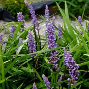liriope, liriope muscari big blue