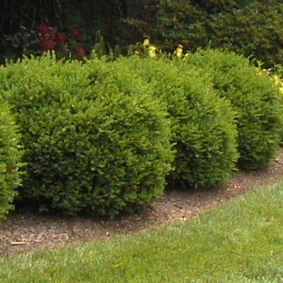 Rastliny na živý plot